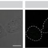 Proximity ligation assay demonstrating interactions between m04 and MHC I.