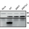 Western blot analysis of MATp1 on uninfected cells, WT MCMV infected cells and ΔMAT/ΔMATp1 MCMV infected cells. Actin is shown as loading control and m04 as control of virus infection.