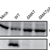 Western blot analysis of MATp2 on uninfected cells, WT MCMV infected cells and ΔMAT/ΔMATp2 MCMV infected cells. Actin is shown as loading control.